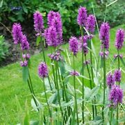 Wood Betony Flower Seeds Stachys Officinalis 30+seeds