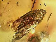 Rare Mexican Chiapas Miocene Fossil Amber Leafhopper Insect Inclusion Ch6 18.3g