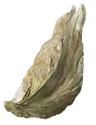 Extremely Rare 14 Inch Giant Pacific Oyster Sea Shell 50+ Year Old 3lb 14oz