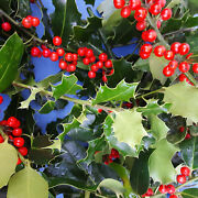 Real Fresh Holly Branches Berries Holiday Wreath Decoration Bouquet Arrange Box