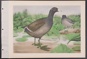 Brasher - Coot. 4-221 1931 Birds Of North America Hand-colored Collotype