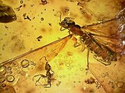 Rare Mexican Chiapas Miocene Fossil Amber Termite And Ant Ch8 18.6g