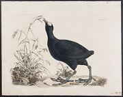 Selby - Common Coot. 32 1834 British Ornithology Hand-colored Folio Engraving