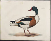 Selby - Common Shell-drake. 48b 1834 Ornithology Hand-colored Folio Engraving