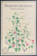 Zurich Botanical - Angels Trumpet. 56, C1930 Signed Colored Drawing