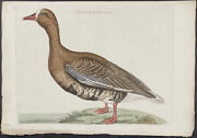 Nozeman - Lesser White-fronted Goose. 107 1770 Hand-colored Folio Engraving