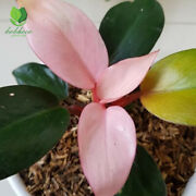 Philodendron Pink Congo With Phytosanitary Certificate Wholesale And Retail