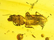 Very Rare Big Beetle Coleoptera. Burmite Natural Myanmar Insect Amber Fossil