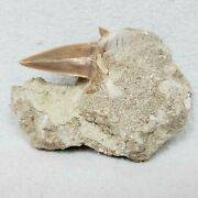 Shark Tooth Fossil Paleocene Epoch Morocco 60 Million Years Old Comes With Coa