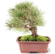 Japanese Black Pine Outdoor Bonsai Tree Live Plant 12 Years Old 15andrdquo