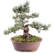 Japanese Five Needle Pine Outdoor Bonsai Tree Live Plant 35 Years Old 19andrdquo