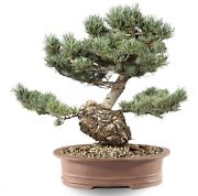 Japanese Five Needle Pine Outdoor Bonsai Tree Live Plant 30 Years Old 18andrdquo