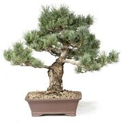 Japanese Five Needle Pine Outdoor Bonsai Tree Live Plant 30 Years Old 21andrdquo