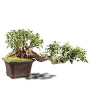 Grafted Fucus Retusa Outdoor Bonsai Tree Live Plant 30 Years Old 31andrdquo