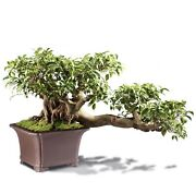 Grafted Fucus Retusa Outdoor Bonsai Tree Live Plant 30 Years Old 26andrdquo