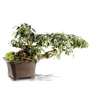 Grafted Fucus Retusa Outdoor Bonsai Tree Live Plant 30 Years Old 27andrdquo