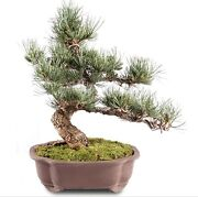 Japanese Five Needle Pine Outdoor Bonsai Tree Live Plant 25 Years Old 13andrdquo
