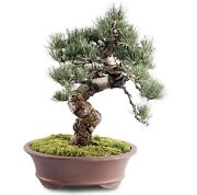 Japanese Five Needle Pine Outdoor Bonsai Tree Live Plant 30 Years Old 16andrdquo
