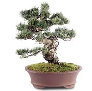Japanese Five Needle Pine Outdoor Bonsai Tree Live Plant 28 Years Old 13andrdquo