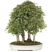 Trident Maple Outdoor Bonsai Tree Live Plant 15 Years Old 26andrdquo