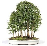 Trident Maple Outdoor Bonsai Tree Live Plant 15 Years Old 25andrdquo
