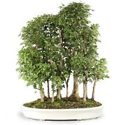 Trident Maple Outdoor Bonsai Tree Live Plant 15 Years Old 27andrdquo