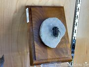 Trilobite Wall Display Dinosaur Fossil Home Decor Pirate Gold Coins Jurassic