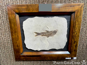 Fish Fossil Wall Display Home Decor Dinosaur Pirate Gold Coins Jurassic