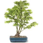 Japanese Maple Outdoor Bonsai Tree Live Plant 12 Years Old 35andrdquo