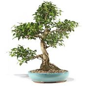 Golden Gate Ficus Outdoor Bonsai Tree Live Plant 20 Years Old 25andrdquo
