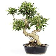 Golden Gate Ficus Outdoor Bonsai Tree Live Plant 20 Years Old 21andrdquo