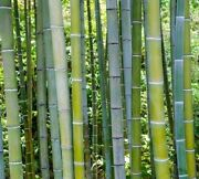 200+ Fresh Giant Moso Bamboo Seeds - Phyllostachys Pubescens - High Germination