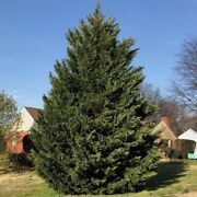 15 Leyland Cypress Trees - Live Plants - 6-12 Tall - 2.5 Pots - Ships Potted