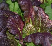 Giant Red Mustard Seed - Cold Hardy Japanese Heirloom Greens Seeds ¼oz To 1oz