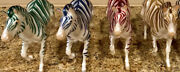 Breyer Christmas Zebras Complete Set Laid Off Selling My Entire Collection