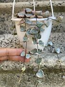 Ceropegia Woodii Variegated String Of Hearts Rare Plant 4andrdquo Hanging Pot