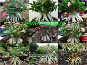 Adenium Arabicum Desert Rose Mixed 9types 510 Seeds