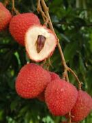 Free Shipping - Lychee Plant - 2 To 3 Feet Tall - Airlayered Tree - Ship In 3 Ga