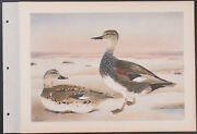 Brasher - Gadwall. 3-135, 1931 Birds Of North America Hand-colored Collotype