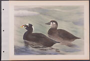 Brasher - Surf Scoter. 3-166, 1931 Birds Of North America Hand-colored Collotype