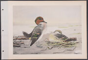 Brasher - Greenwing Teal. 3-139 1931 Bird North America Hand-colored Collotype