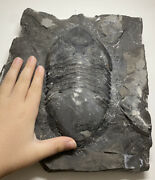 Huge 8 Inch Authentic Isotelus Trilobite Fossil 450 Million Years Old Quebec