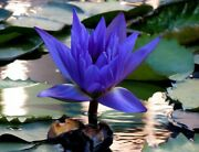 Blue Water Lily Flowers Beautiful Summer Water Nymph Flower Rare Plants 1 Seeds