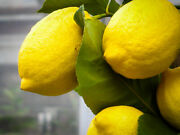 Dwarf Eureka Lemon Tree - 30-32 Live Plant - Potted - Citrus Limon And039eurekaand039