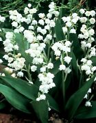 28 Lily Of The Valley Perennial Shade Live Plants/pips/convallaria Majalis