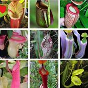 Flowers Eating Mosquitoes Carnivorous Plants Nepenthes Tropical Pitcher 200seed