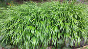 5 Japanese Forest Grass Plants - And039hakonechola Macraand039 - For Shade - Deer Proof