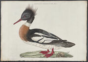 Nozeman - Red-breasted Merganser. 124 1770 Birds Hand-colored Folio Engraving