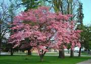 2 Pink Flowering Dogwood Trees - Live Potted Plants - 12-18 Tall - 2.5 Pots