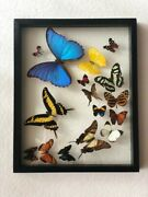 Real Butterflies Flying Formation Blue Morpho Plus 15 In Glass Case/black Wood.